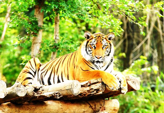 Tiger in