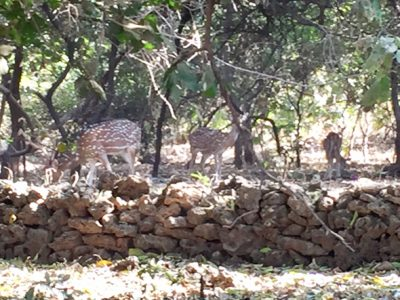 Gir National Forest is a protected area for lions, deer, neelgai and peacocks. The lion population has increased to 522, but they are to be seen in only early morning or evening when they come to drink out of the streams and brooks.