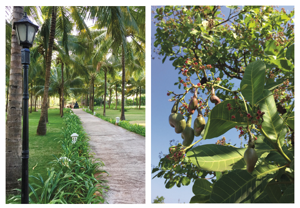 The 300-mile Konkan coast is luscious with palm and coconut trees, jack fruit, and cashews (right). The local Malvani cruisine includes dishes made of pomfret fish and crustaceans such as shrimp, crab and lobster.
