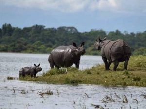 Indian one-horned Rhinos stand at an elevated area inside the flood affected Kaziranga National Park. (PTI photo)