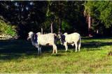 Saratoga Serendipity: A New Gir Cow Farm & Retreat in East Texas