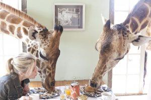 giraff